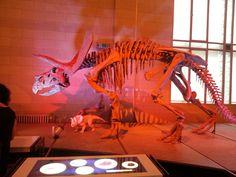 Triceratops Museo di Scienze Naturali Bruxelles