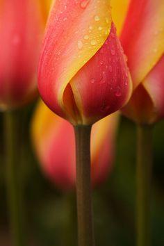 Lovely Tulip, shot at Wooden Shoe Tulip Farm, Oregon. By Immortal Thrill-Seeker | Flickr.