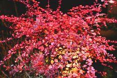 japanese barberry invasive species