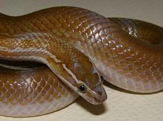 Lamprophis capensis - Brown House Snake