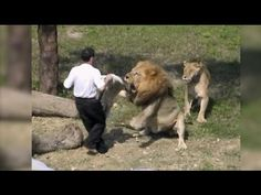 This Crazy Man Jumps Into The Cage Of The Lions. Do You Think They Can Save Him? Here's What Happens! - Native Pride