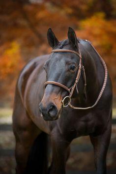 Thouroughbred Horse, Andalusian Horse, Friesian Horse, Draft Horses, Arabian Horses, Thoroughbred, Big Horses, Black Horses, Cute Horses