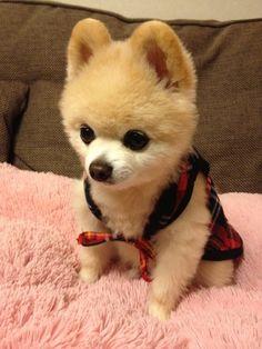 Pomeranian, Shunsuke 俊介君 with really deep thoughts