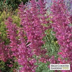 The flower spikes of 'Desert Solstice' are remarkable for their fullness, large size, and exotic colorization. The plant is like a semi-dwarf form of our best selling 'Desert Sunrise' but with more flowers.A High Country Gardens introduction