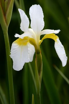Iris sibirica 'Snow Queen' ~ siperiankurjenmiekka ~ siberian iris, siberian flag