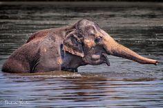 Bath Time: Beautiful Asian Elephant having a little swim in a local watering hole. AdolescenceAdolescentAnimalAnimal SancturyAnimalsAsian ElephantAsiatic ElephantBathBathingBodies Of WaterElephantElephas MaximusEndangeredLakeMammalMammalogyMammalsNaturePlayPlayingPondSafariSwimmingTaking a BathThreatenedTrunkWaterWild AnimalWild LifeWildlife