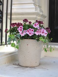 Martha Washington pelargonium ,english ivy