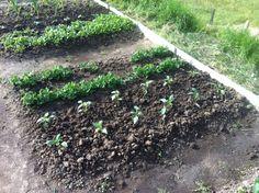 (Marzo 2016) Piselli e peperoni, l'orto prende forma ☺️