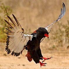 Batley Eagle
