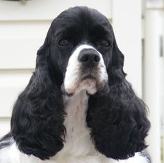 American Cocker Spaniel | visichy american cocker spaniels at visichy cockers we are committed ...