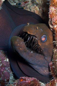 Viper Moray eel by breic Deep Sea Creatures, Weird Creatures, Underwater Creatures, Underwater Life, Beautiful Creatures, Animals Beautiful, Sea Snake, Water Animals, Sea Fish