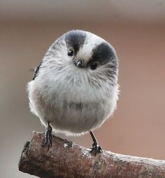 how you like my fuzzy bird face? <3: Oh Hello Birds, Hannah S Birds, Adorable Bird, Little Birds, Animals So