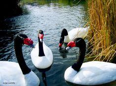 p Especie Animal, Swan, Flora, Birds, Peacocks, Animal Kingdom, Google, Animales, The World