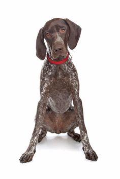 How diesel dog sits! Love my GSP!