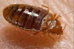 https://www.howpride.com/home-remedies-for-bed-bugs/
