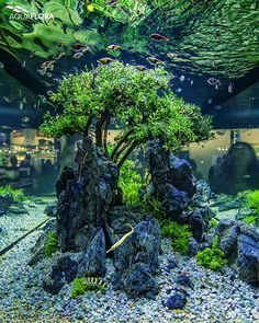 "Aquaflora's showtank from Dibevo 2015. Dead bonsai tree with Bolbitis heteroclita ""difformis""."