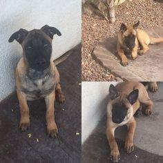 Litter Of 3 Belgian Malinois Puppies For Sale In El Paso Tx Adn 43455 On Puppyfinder Com Gender Male S Puppies For Sale Malinois Malinois Puppies For Sale