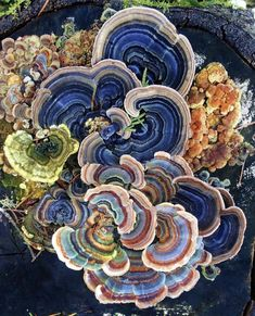 Turkey tail mushroom in Oregon Turkey Tail Mushroom, Mushroom Art, Mushroom Fungi, Mushroom Species, Mushroom Drawing, Mushroom Images, Mushroom Pictures, Plant Fungus, Illustration Mode