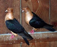 Archangel Pigeon | copper black wing