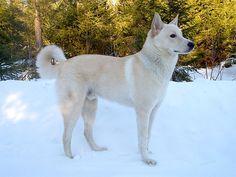 Conheça a raça Cão do Canaã