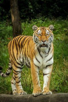 sibirischer tiger face to face ♥♥♥♥