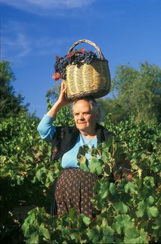 anziana donna al lavoro tra i filari in vendemmia ~ elderly woman at work between the rows at harvest