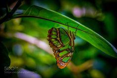Butterfly-2 by richardpatti. @go4fotos
