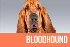 Bloodhound — American Kennel Club