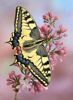 Butterfly on a pink lilac