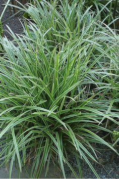 Carex morrowii Ice Dance 12 - tall, 18 - wide Light: Full Sun, Part… Part Sun Perennials, Flowers Perennials, Planting Flowers, Sun Plants, Shade Plants, Ornamental Grasses For Shade, Front Door Plants, Shade Grass, Gardens