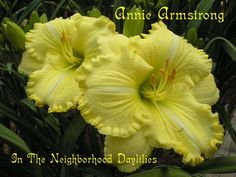 Annie Armstrong  (Bell, T., 2003)-CLICK PICTURE;Annie Armstrong Daylily;Bell 2003 Daylily;Lemon Yellow w' Green Throat Daylily;Fragrant Daylily;Tetraploid Daylily;Dormant Daylily;Award Winning Daylilies;Reblooming Daylily