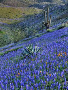 "djferreira224: "" Sonora yucca lupine by paulgillphoto on Flickr. Coulter's Lupine, Arizona """