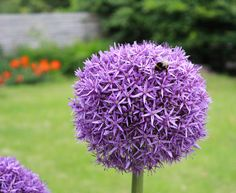 I took a pic this morning of my beautiful Allium Globemaster (with bee!) and thought I would share - thanks Karen! http://www.sarahraven.com/flowers/bulbs/alliums/allium_globemaster.htm