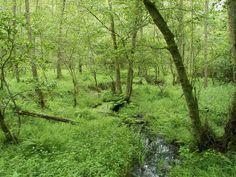 Ambiance d'Aulnaie inondable | Les espèces du fleuve Charente entreAngoulêmeetCognac | Nature | Saint-Simon Village Gabarrier (Charente, France)