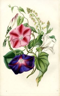1836 botanical illustration by Louisa Twamley from The Romance of Nature. Botanical Flowers, Botanical Prints, Morning Glory Tattoo, Purple Tattoos, Month Flowers, Illustration Blume, Colored Pencil Techniques, Botanical Drawings, Paintings