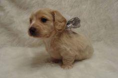 Adorable AKC Miniature Dachshund Puppies
