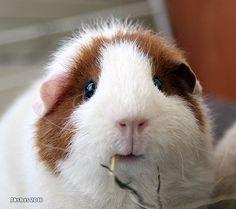 The Guinea Pig Daily: Tormashka