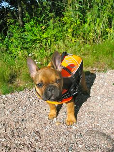 Swim time for Helmi, the French Bulldog Puppy