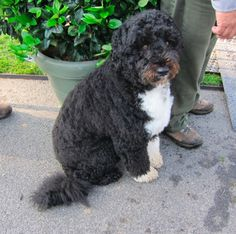 """That famous quote came from Harry S. Truman, and it couldn't be more true. With election day upon us, I thought we'd look back at Bo's most precious moments in office. Let's be honest, this Portuguese water dog has made us say """"Awww"""" one time or another and he's grown to the tender age of four before our very eyes."""