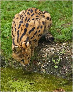 Serval by Foto Martien, via Flickr