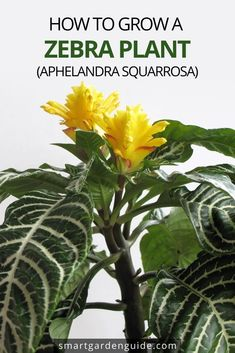 Everything you need to know about Zebra Plant care. The Zebra plant, otherwise known as Aphelandra squarrosa, is an evergreen shrub, which makes an attractive houseplant due to its evergreen foliage and striking variegated appearance. Indoor Flowering Plants, Blooming Plants, Exotic House Plants, Snake Plant Care, Zebra Plant, Small Space Gardening, Indoor Gardening, Growing Plants Indoors, Smart Garden