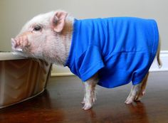 My Quest for Mini Pig Clothes