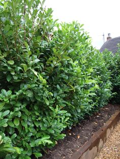 We are the UKs leading Instant Hedging design and installation company. Our range of instant hedges include Laurel Hedging, which provides full evergreen and glossy leaves. Find out more about Laurel Hedges Privacy Hedge, Privacy Plants, Laurel Hedge, Allotments, Hedges, Evergreen, Shrubs, Garden Landscaping, Garden Sculpture