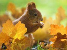 Squirrel in Autumn, Bavaria