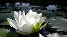 White Lotus Flower Nature - High Definition Wallpapers - HD wallpapers