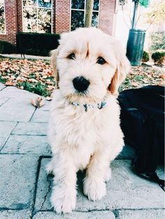 Dogs That Dont Shed Goldendoodle Ideas Cute Puppies, Cute Dogs, Dogs And Puppies, Doggies, Animals And Pets, Baby Animals, Cute Animals, Baby Elephants, Funny Animals