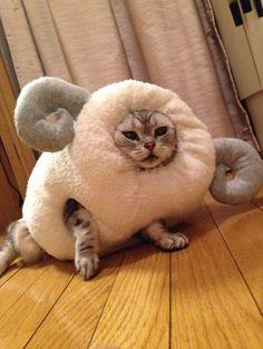 羊のきぐるみを着た猫 ポーズ oooh, the look of murder from an animal that can barely move.