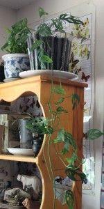 Monstera Obliqua/Swiss Cheese Vine as Plant Totem