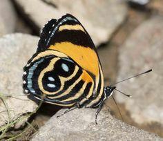 https://flic.kr/p/Aa4uqE | Callicore tolima, Blue-and-orange Eighty-eight, 2015 Oct 21, Rio Chaloyacu, Napo, Ecuador, JGlassberg - 1606 | Blue-and-orange Eighty-eight, Callicore tolima, Napo, Ecuador butterflies, Sunstreak Tours, Glassberg