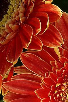 lollipop gerberas Gerbera Daisies, Flowers, Color Of Life, Mother Nature, Daisy, Faces, Colour, Orange, Garden